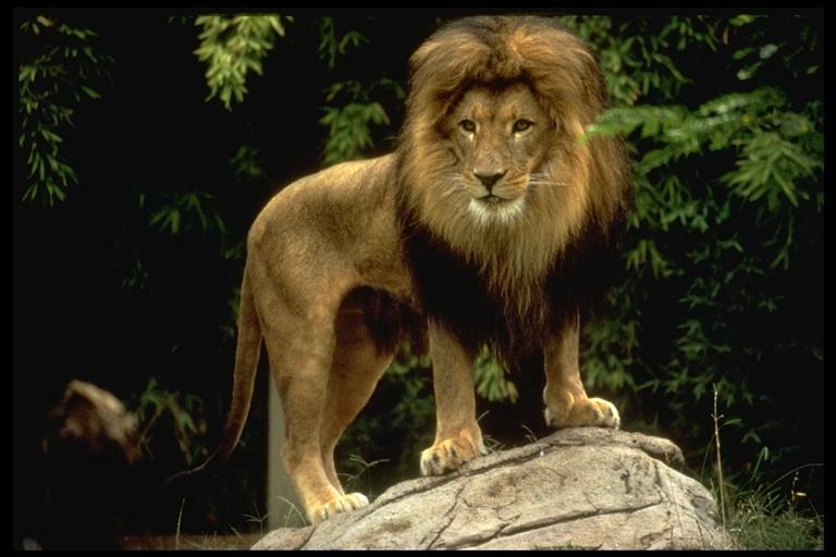 lion485061.jpg